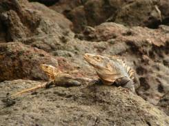 Kosta Rika - İguanalar