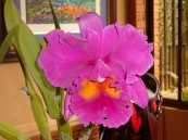 Kosta Rika orkidesi