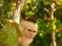 Kosta Rika ormanlarında beyaz yüzlü maymun