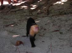 Kosta Rika'da beyaz yüzlü maymun sahilde aşıracak bir şeyler arıyor