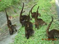 Kosta Rika'da bir pisote ailesi