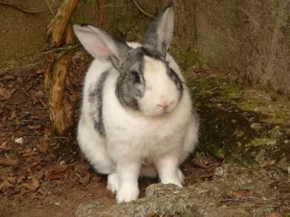 Kosta Rika'da bir tavşan