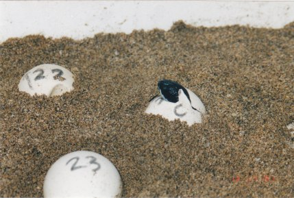 Kosta Rika'nın Baula Kaplumbağaları Ulusal Parkı'nda yumurtasından çıkan kaplumbağa