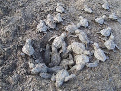 Kosta Rika'nın Manuel Antonio sahilinde yeni doğan deniz kaplumbağaları