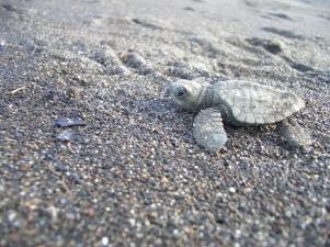 Kosta Rika'nın Manuel Antonio sahilinde yeni doğan ve denizi arayan bir deniz kaplumbağası