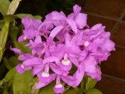 Kosta Rika'nın orkidesi