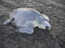 Kosta Rika'nın Ostional sahilinde yumurtlamaya gelen deniz kaplumbağası