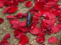 Kostarika'da gül yaprakları üzerinde mavi kelebek